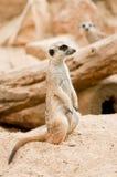 przyglądający meercat obsiadania zegarek zdjęcie royalty free