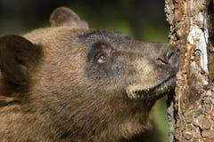 przyglądający niedźwiadkowy przyglądający drzewo Fotografia Stock