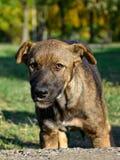 Przyglądający potomstwo pies Zdjęcie Royalty Free