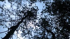 Przyglądający przez conifer drzew przy browarnianą burzą w lesie up zbiory