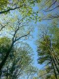 Przyglądający przy drzewnymi wierzchołkami i niebem up obraz stock