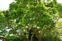 Przyglądający przy dużym drzewem na niebieskim niebie up Zdjęcia Stock