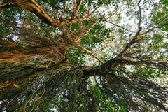 Przyglądający przy dużym drzewem up, zieleń opuszcza Obraz Royalty Free