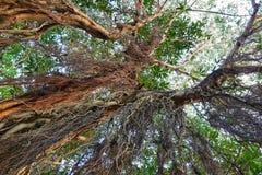 Przyglądający przy dużym drzewem up, zieleń opuszcza Obraz Stock