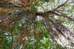 Przyglądający przy dużym drzewem up, zieleń opuszcza Obrazy Stock