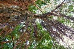 Przyglądający przy dużym drzewem up, zieleń opuszcza Obrazy Royalty Free