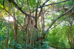 Przyglądający przy dużym drzewem up, zieleń opuszcza Zdjęcie Royalty Free