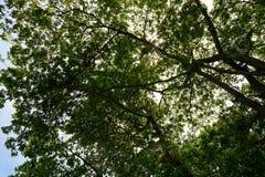 Przyglądający przy dużym drzewem up, zieleni liście, Zdjęcia Royalty Free