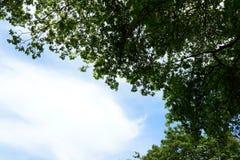 Przyglądający przy dużym drzewem up, zieleni liście, Obraz Royalty Free