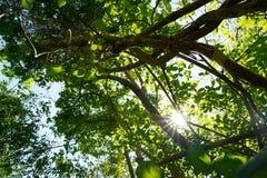 Przyglądający przy dużym drzewem, zielonymi liśćmi, niebieskim niebem i światłem słonecznym na pięknym naturalnym tle up, Zdjęcie Stock