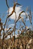 Przyglądający przy kukurydzanymi badylami up Fotografia Stock