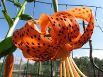 Przyglądający przy leluja kwiatem up Obraz Stock