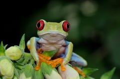 przyglądający się żaby czerwieni drzewo Obrazy Stock