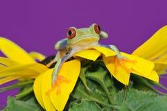 przyglądający się żaby czerwieni drzewo Obraz Royalty Free