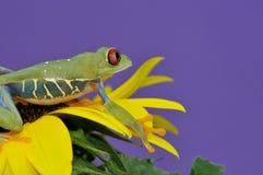 przyglądający się żaby czerwieni drzewo Fotografia Royalty Free