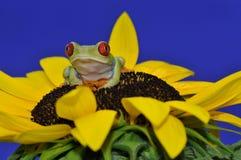 przyglądający się żaby czerwieni drzewo Zdjęcia Stock
