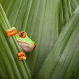 przyglądający się żaby czerwieni drzewo Zdjęcie Royalty Free