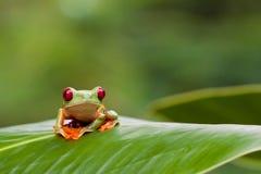przyglądający się żaby liść czerwieni drzewo obraz stock