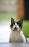 przyglądający się błękitny kot Fotografia Stock