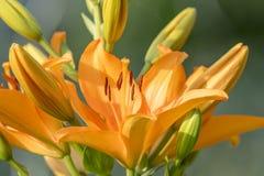 Przyglądający się daylily kwitnienie z pączkami Zdjęcia Royalty Free