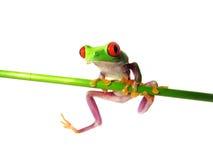Przyglądający się drzewnej żaby Agalychnis callidryas (133) Zdjęcia Stock