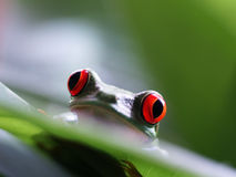 Przyglądający się drzewnej żaby agalychnis callidryas (64) Obrazy Royalty Free