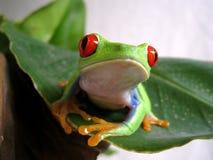 Przyglądający się drzewnej żaby (3) agalychnis callidryas Fotografia Stock