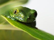 Przyglądający się drzewnej żaby (1) leptopelis vermiculatus Obraz Royalty Free