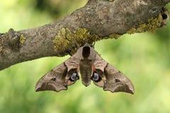 Przyglądający się HawkmothSmerinthus ocellatus Zdjęcie Stock