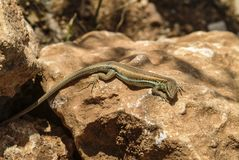 Przyglądający się jaszczurka łowieccy insekty w Cypr zdjęcie royalty free