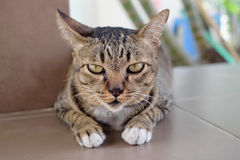 Przyglądający się kot Zdjęcie Stock