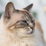 przyglądający się piękny błękitny kot Fotografia Royalty Free