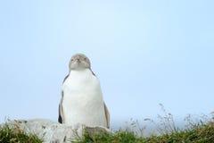 Przyglądający się Pingwin Fotografia Royalty Free