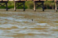 Przyglądający się ptak na jeziorze Słyszącego perkoza ptak zdjęcie royalty free