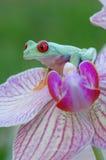 Przyglądający się treefrog (Agalychnis callidryas) Zdjęcie Royalty Free