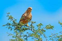 Przyglądający się wielki kestrel, Falco rupicoloides, siedzi na gałąź z niebieskim niebem, Moremi, Okavango delta, Botswana, Afri zdjęcia royalty free