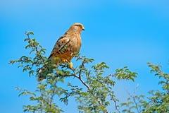 Przyglądający się wielki kestrel, Falco rupicoloides, siedzi na gałąź z niebieskim niebem, Moremi, Okavango delta, Botswana, Afri obrazy royalty free
