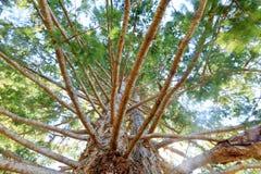 Przyglądający spod spodu wielkiego wiecznozielonego drzewa z dużo up rozgałęzia się Fotografia Stock