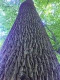 Przyglądający Up Kolosalny drzewo w lesie zdjęcie stock