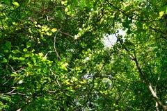 Przyglądający up liścia drzewo jako tło, Zielony tapetowy pojęcie Obrazy Royalty Free