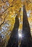 Przyglądający up między dwa wysokimi majestatycznymi drzewami z jaskrawymi żółtymi liśćmi obraz royalty free