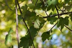 Przyglądający up na ślimaczka obsiadaniu na zielonym liściu Fotografia Stock
