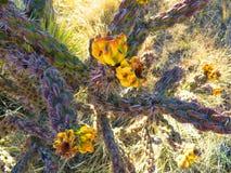 Przyglądający up na kaktusie Obraz Royalty Free