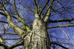 Przyglądający Up punkt widzenia Nagi drzewo Z Błękitnym zimy niebem Zdjęcia Stock