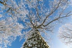 Przyglądający Up punkt widzenia Nagi drzewo Z Zgłębiać Błękitnego zimy niebo Obraz Royalty Free