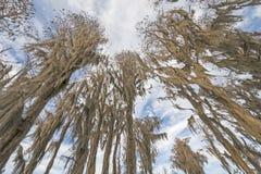 Przyglądający up w Hiszpańskim mech Cyprysowy las zdjęcie stock