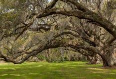 Przyglądający Up W Live Oak baldachim obraz royalty free