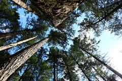 Przyglądający w górę bagażników bardzo wysocy drzewa w Hemer parku w cedrze blisko Nanaimo BC zdjęcia royalty free