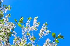 Przyglądający W górę Czereśniowych gałąź z okwitnięciami przeciw niebieskiemu niebu na Pogodnym wiosna dniu Zmiana sezonu poj?cie fotografia stock