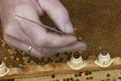 przyglądająca pszczelarki królowa Fotografia Royalty Free